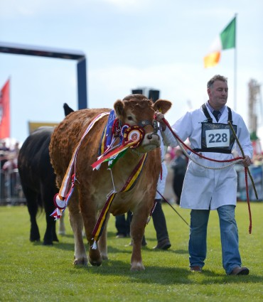 Milbrook Gingerspice entering the Show Ring