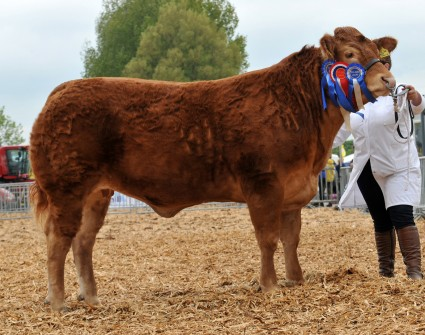 Individual Interbreed Champion Limousin 'Foxhill Gracie' from Mr & Mrs MJ Alford  Devon