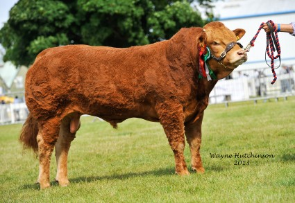 Ardglasson Highlander - Res Male Champion Limousin