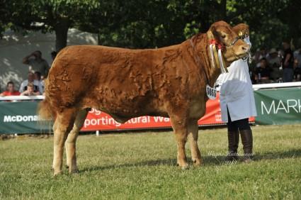 Foxhillfarm Gracie 2013 RWAS Limousin Champion