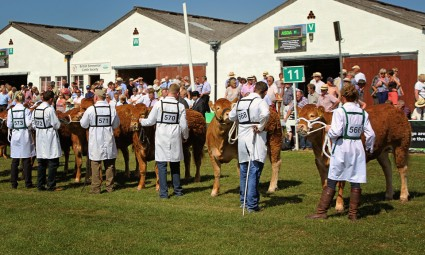 Junior Limousin Heifer Line-up