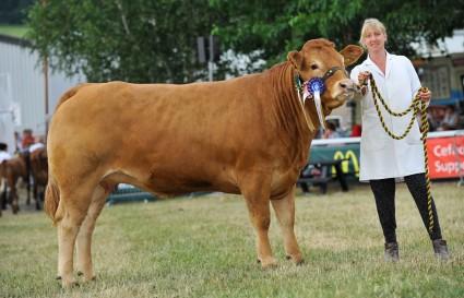 Mynach Gwi Best Welsh Exhibitor-bred Heifer