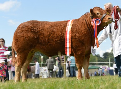 Heifer Champion Claragh Heidi