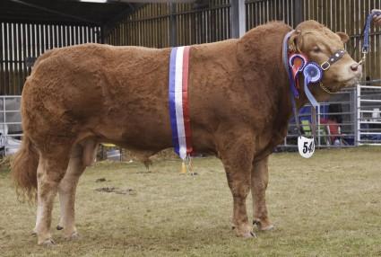 Limousin Grand Prix Overall Champion Ardglasson Highlander