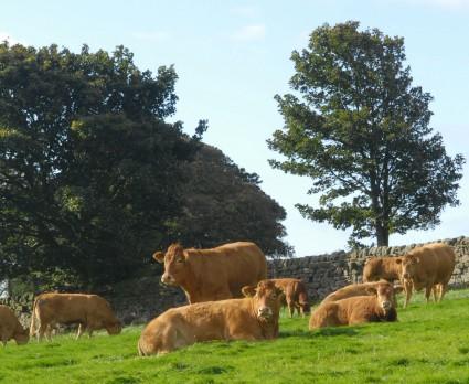 Tomschoice Cows