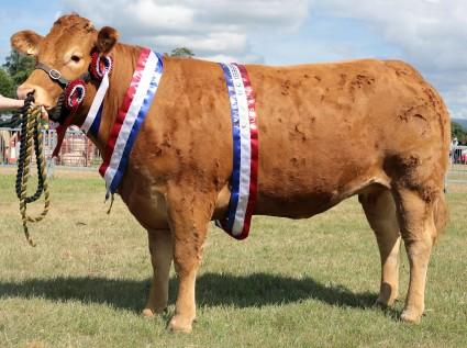 Limousin Champion & Interbreed Champion Mynach Gwi