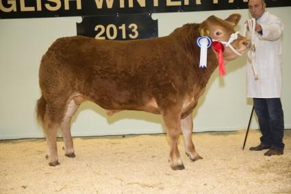 Pedigree Limousin Reserve Champion Dinmore Hazzard