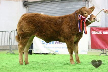 Reserve Overall Junior Continental and Overall Junior Limousin Champion Glenrock Illusion from Stephen Illingworth