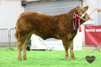 Reserve Overall Junior Continental and Overall Junior Limousin Champion Glenrock Illusion