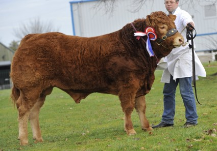 Roxburgh Homeland - pedigree Limousin champion