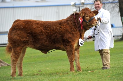 Foxhillfarm Izzy Reserve Champion  Pedigree Limousin
