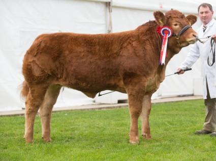 Foxhillfarm Izzy Reserve Interbreed Calf Champion