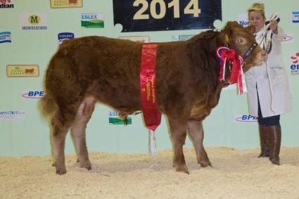 Foxhillfarm Justthejob National Calf Show Champion