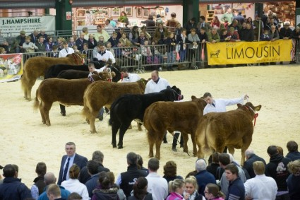 Limousin line-up at English Winter Fair