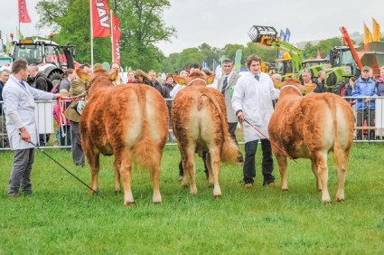 Limousin judging Northumberland County show 2015 (1) (640x426)