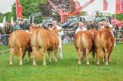 Limousin judging Northumberland County show 2015 (3) (640x426)