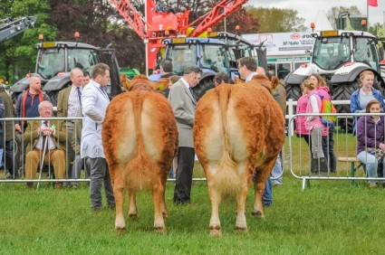 Limousin judging Northumberland County show 2015 (4) (640x426)