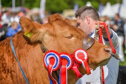 Limousin judging Northumberland County show 2015 (6) (640x427)