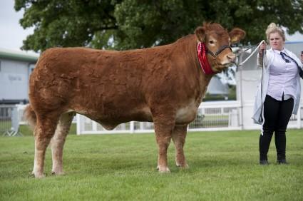 Foxhillfarm Ivy - Res Limousin Champion