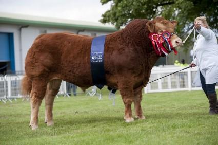 Foxhillfarm Jasper - Overall Champion Limousin.