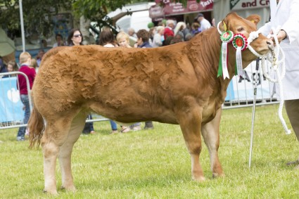 Baby Beef and Overall Champion Commercial