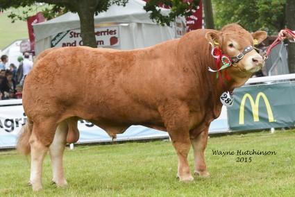 Dinmore Immense - Male Limousin Champion