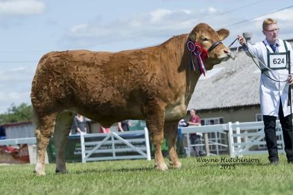 Foxhillfarm Ivy - Overall Champion Limousin