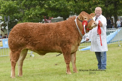 Pabo Icemaden - Best Welsh Bred Limousin