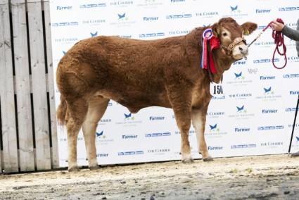 Allanfauld Jolene - Overall & Senior Overall Limousin Champion & Overall Continental Champion