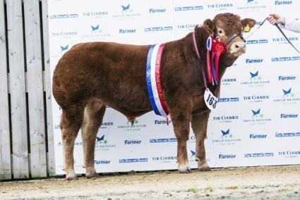 Foxhillfarm Logan - Overall Limousin Junior Championship & Interbreed Continental Junior Championship