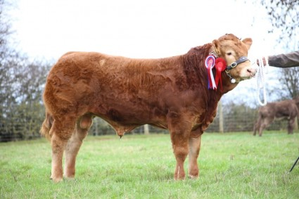Dinmore Jackthelad Limousin Reserve Overall & Male Champion in the National Pedigree Calf Show