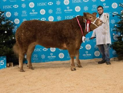 Pedigree Limousin Champion Bailea Juniorchamp - Ifan Phillips