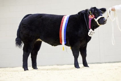 Rumpy Pumpy - Baby Calf Champion