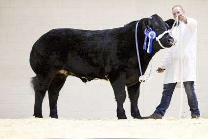 The Gambler - Reserve Champion Steer