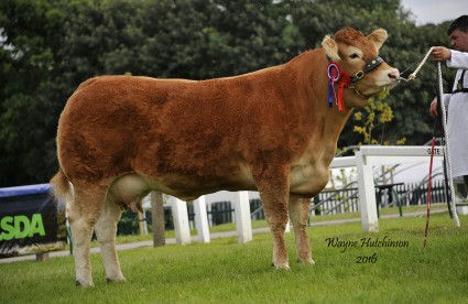 Brockhurst Heavenly Individual Interbreed Champion and Supreme Limousin Champion