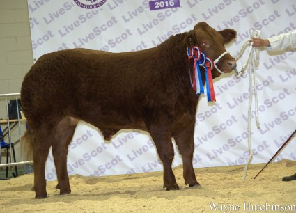 Reserve Supreme Champion and Champion Steer RED ALERT