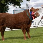 Dancer – Res Commercial Champion. Sire Limousin